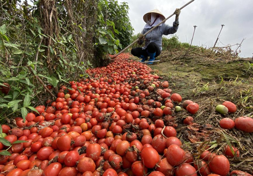 Nông sản sau tết: Bán không ai mua, nông dân chở cả ôtô rau đổ xuống sông Hồng